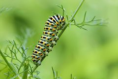 Machaon butterfly's caterpillar Royalty Free Stock Image