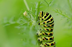 Machaon butterfly's caterpillar Stock Photography
