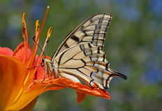 Machaon butterfly sitting on flower Stock Photography