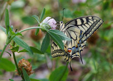 Machaon butterfly Royalty Free Stock Photos