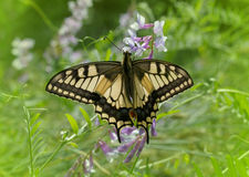 Machaon butterfly Royalty Free Stock Images