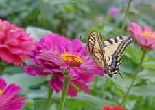 Machaon butterfly on zinnia flower Stock Photo