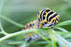 Machaon caterpillar Stock Images