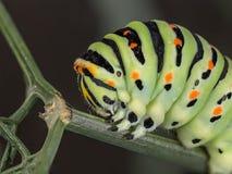 A machaon caterpillar Stock Photo