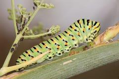 A machaon caterpillar Royalty Free Stock Photography