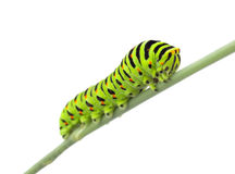 Machaon caterpillar Stock Photography