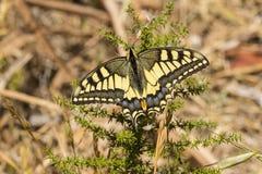 Machaon común de Swallowtail - de Papilio - que toman el sol en sol Fotos de archivo