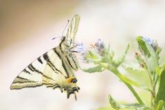 Machaon détaillé de papilio de machaon de zèbre sur une fleur dans un gree Photos stock