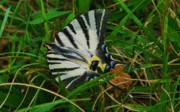 Machaon d'alerte Photo stock