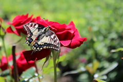Machaon de la mariposa Fotografía de archivo