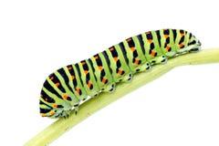 Machaon de la Oruga-Papilio. Fotos de archivo libres de regalías