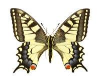 Machaon de Papilio Fotografía de archivo