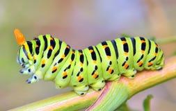 Machaon de Papilio Fotos de archivo libres de regalías