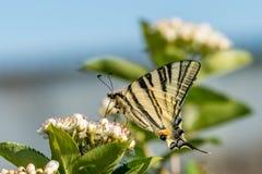 Machaon de Papilio, a borboleta amarela comum do swallowtail fotografia de stock royalty free