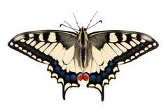 Machaon de Papilio da borboleta fotografia de stock royalty free