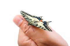 Machaon de Papilio da borboleta fotos de stock royalty free