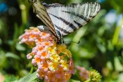 Machaon de Papilio da borboleta Imagens de Stock Royalty Free