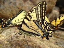 Machaon de Papilio da borboleta de Swallowtail Fotografia de Stock