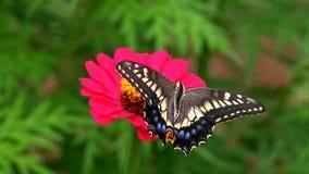 Machaon de Papilio da borboleta na flor do Zinnia foto de stock