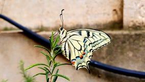 Machaon de Papilio da borboleta de Swallowtail imagem de stock