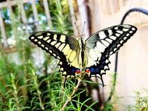 Machaon de Papilio da borboleta de Swallowtail fotografia de stock royalty free