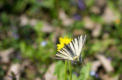 Machaon de Papilio da borboleta, swallowtail branco comum que está na flor no campo fotos de stock