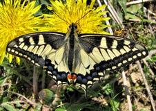 Machaon de Papilio de la mariposa Fotos de archivo