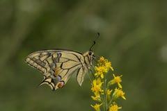 Machaon de Papilio, mariposa de Swallowtail de Baja Sajonia, Alemania Imagenes de archivo