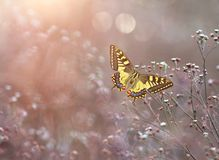 Machaon de Papilio, o swallowtail do Velho Mundo fotografia de stock royalty free