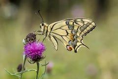 Machaon de Papilio, papillon de machaon de basse-saxe, Allemagne Photos libres de droits