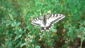 Machaon de Papilio de papillon sur un prunier fleurissant banque de vidéos