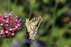 Machaon de Papilio para la mariposa de la página del ` s de la reina con el palmo de alas grande a 75 milímetros imagen de archivo