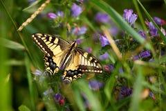 Machaon de Papilio, terra comum Swallowtail amarelo de Swallowtail do europeu Borboleta na flor fotos de stock royalty free