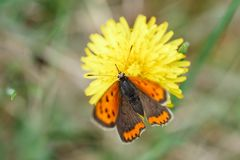 Machaon de papillon se reposant sur un pissenlit photographie stock libre de droits