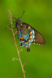 Machaon de Pipevine Photos libres de droits