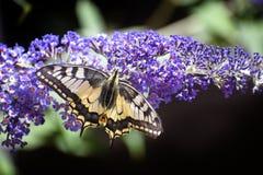 Machaon de Swallowtail Papilio una mariposa con el ala negra amarilla Imagenes de archivo