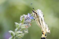 Machaon detalhado do papilio do swallowtail da zebra em uma flor em um gree fotografia de stock royalty free