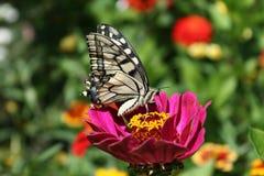 Machaon di Papilio Immagini Stock Libere da Diritti