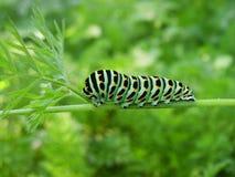 Machaon di Papilio immagini stock