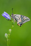 Machaon di Papilio Fotografia Stock Libera da Diritti