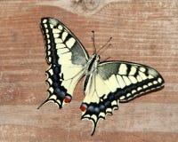 Machaon di Papilio, coda di rondine del vecchio mondo Fotografia Stock