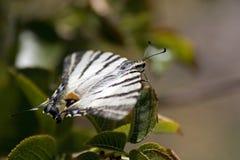 Machaon di Papilio o coda di rondine del vecchio mondo Immagine Stock Libera da Diritti