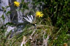 Machaon di Papilio o coda di rondine del vecchio mondo Fotografia Stock