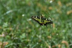 Machaon elegante de Papilio do swallowtail que procura pelo néctar na flor da bolsa de um pastor imagens de stock