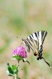 Machaon en la flor Imagen de archivo libre de regalías