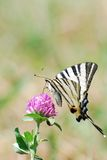 Machaon on the flower Royalty Free Stock Image