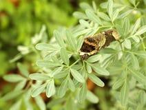 Machaon géant Caterpillar mangeant des feuilles de l'usine de rue Photographie stock libre de droits