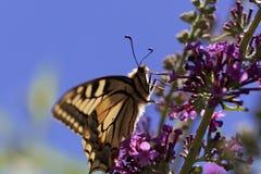 Machaon jaune commun de Papilio de machaon Photographie stock