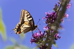 Machaon jaune commun de Papilio de machaon Photo libre de droits