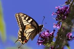 Machaon jaune commun de Papilio de machaon Photo stock